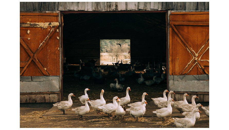 Stado gęsi na tle otwartych drzwi do stodoły.