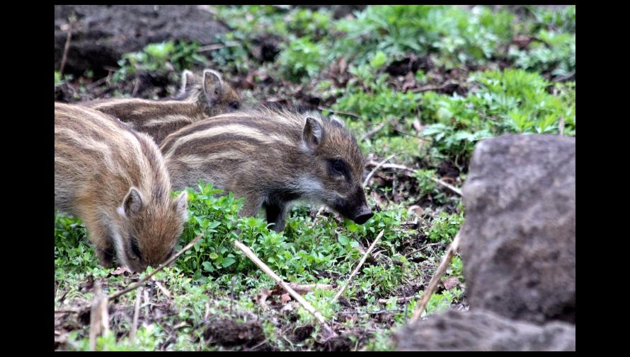 Zdjęcie młodych dzików na łonie natury.